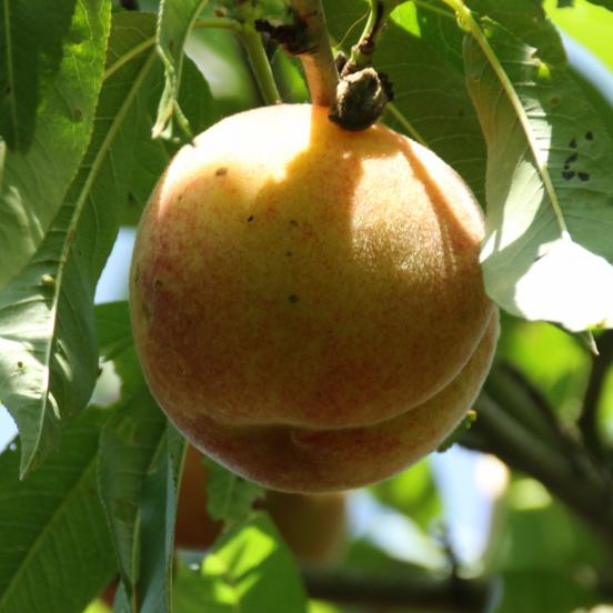 Pêcher persica des Vignes blanche