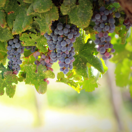Vigne vinifera Muscat Rouge de Madère