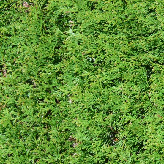 Cyprès de Leyland leylandii Atrovirens