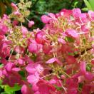 Hortensia paniculata Pinky Winky®