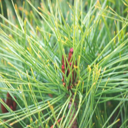 Pin rouge du Japon densiflora Umbraculifera