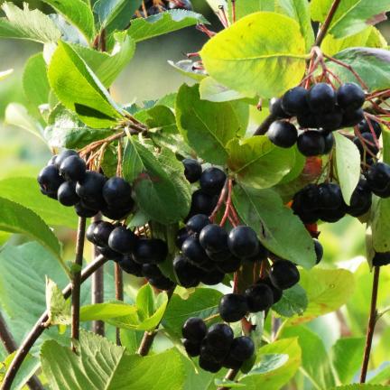 Aronie prunifolia Nero