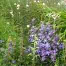 Clématite integrifolia Arabella