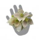 Clématite cireuses cirrhosa Winter Parasol®