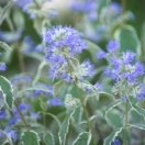 Caryopteris x clandonensis White Surprise