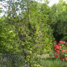 Clématite viticella Etoile Violette