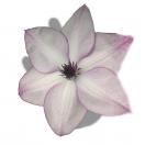 Clématite florida Fond Memories®