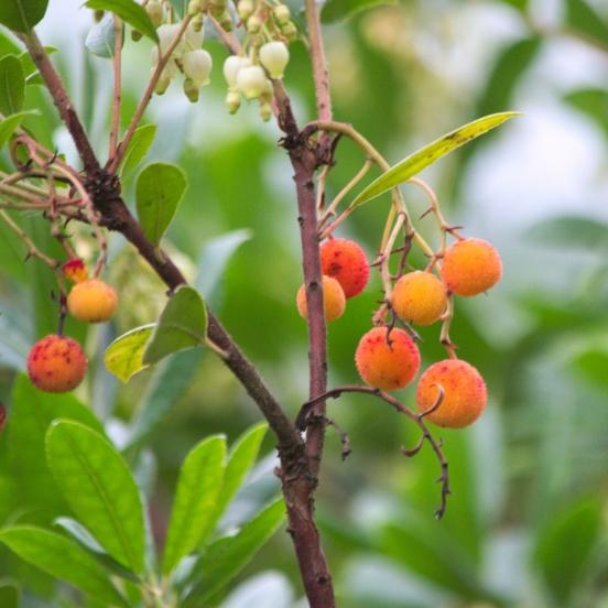 Arbousier, Arbre aux fraises unedo Atlantic