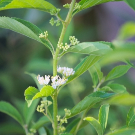 Arbuste aux bonbons dichotoma Albibacea