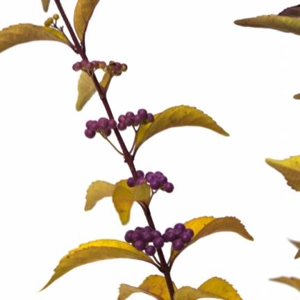 Arbuste aux bonbons dichotoma Issaï