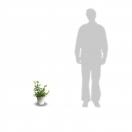 Fuchsia X Mrs popple