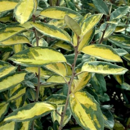 Elaeagnus x ebbingei Limelight