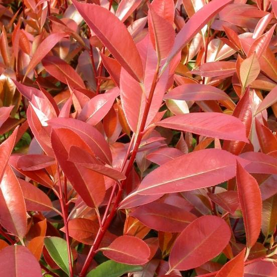 Photinia davidiana Palette