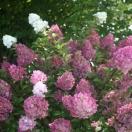 Hortensia paniculata Sundae Fraise® 'Rensun'