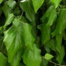 Lierre des colchide colchica