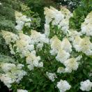 Hortensia paniculata Silver Dollar