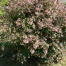 Abélie à grandes fleurs grandiflora