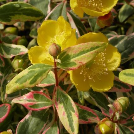 Millepertuis moserianum Tricolor