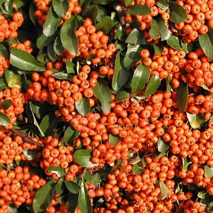 Buisson ardent coccinea Saphyr® Orange 'Cadange'