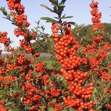 Buisson ardent coccinea Saphyr® Rouge 'Cadrou'