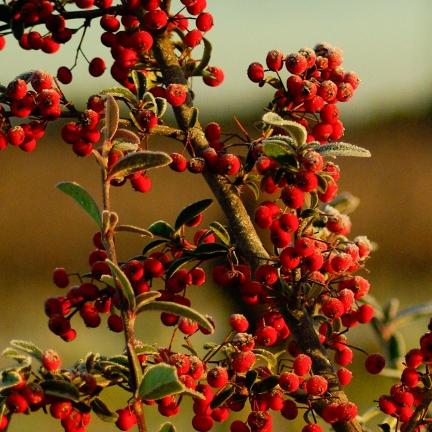 Buisson ardent coccinea Dart's Red® 'Interrada'