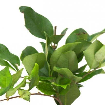 Troène du Japon japonicum Texanum