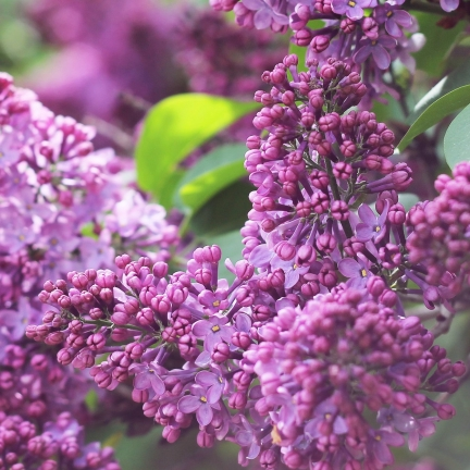 Lilas commun vulgaris Katherine Havemeyer