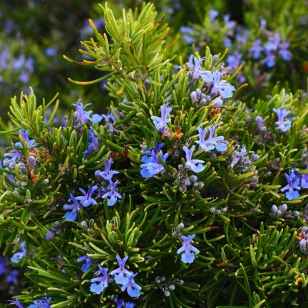 Romarin officinalis Corsican Blue