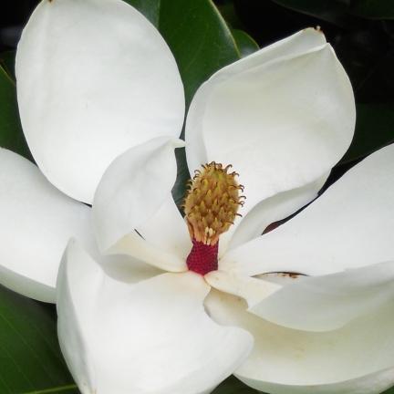 Magnolia à grandes fleurs  grandiflora Galissoniensis