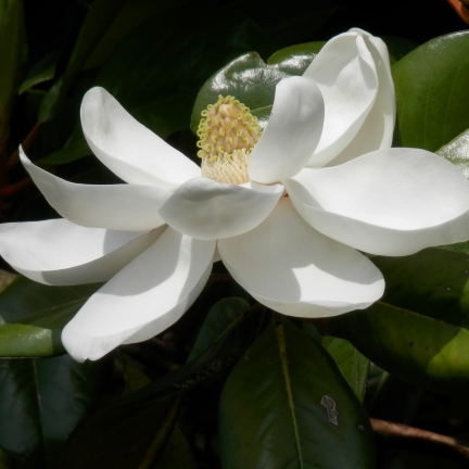 Magnolia à grandes fleurs  grandiflora Treyvei