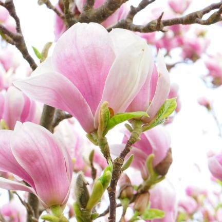 Magnolia de Chine, Magnolia de Soulange Soulangiana Alexandrina