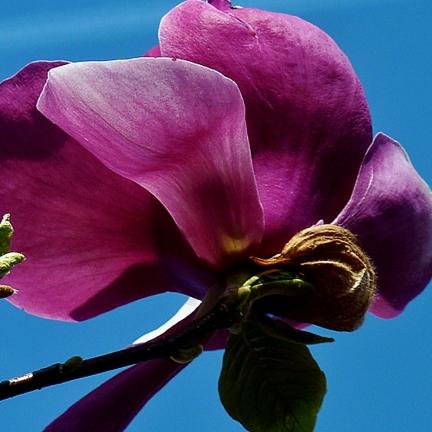 Magnolia de Chine, Magnolia de Soulange Soulangiana Beugnon