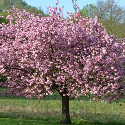 Magnolia de Chine, Magnolia de Soulange Soulangiana Lennei