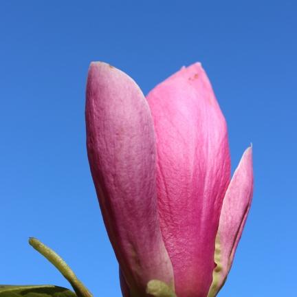 Magnolia de Chine, Magnolia de Soulange Soulangiana Rustica rubra