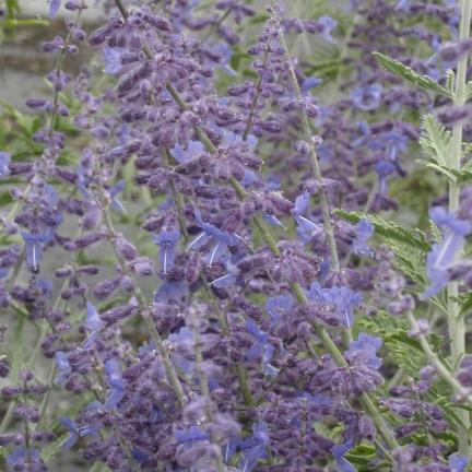 Lavande d'Afghanistan atriplicifolia Silvery Blue