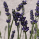 Lavande angustifolia Hidcote Blue