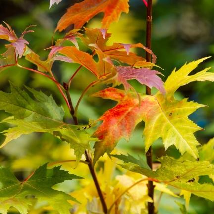 Érable du fleuve Amour tataricum subsp. ginnala Bailey Compact®