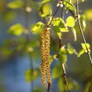 Bouleau verrucosa Laciniata