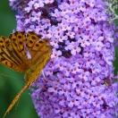 Arbre aux papillons davidii Nanho Blue