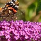 Arbre aux papillons davidii Pink Delight