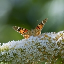 Arbre aux papillons davidii White Profusion