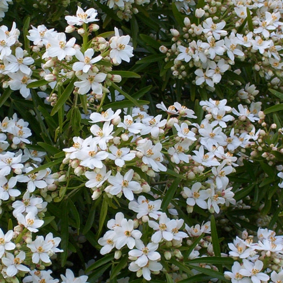 Oranger du Mexique ternata Aztec pearl