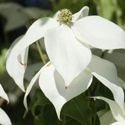 Cornouiller à fleurs d'Amérique florida Pluribracteata