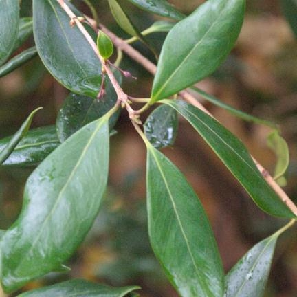 Osmanthe heterophyllus Purpureus