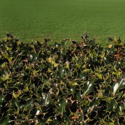 Osmanthe heterophyllus Gulftide