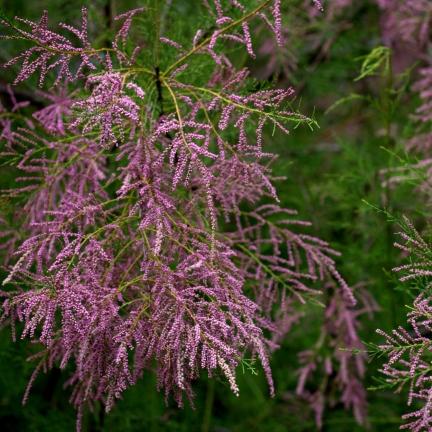 Tamaris à petites fleurs  tetrandra