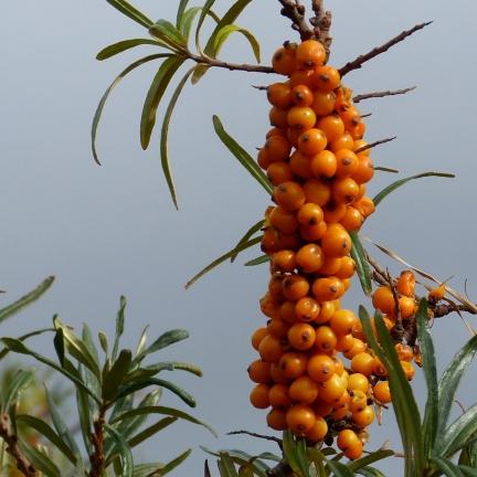 Argousier rhamnoides Hikul