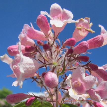 Buisson de beauté amabilis Rosea
