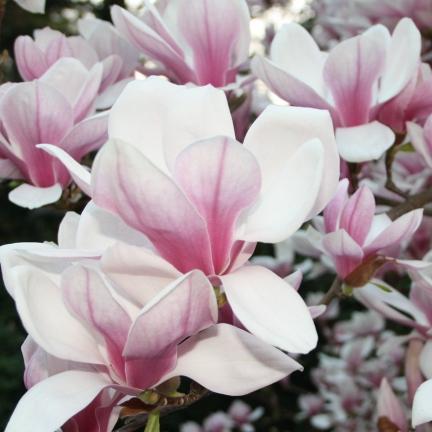 Magnolia de Chine, Magnolia de Soulange Soulangiana