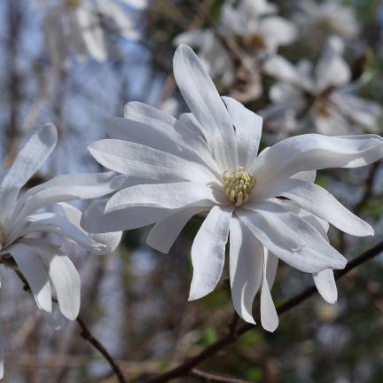 Magnolia étoilé stellata